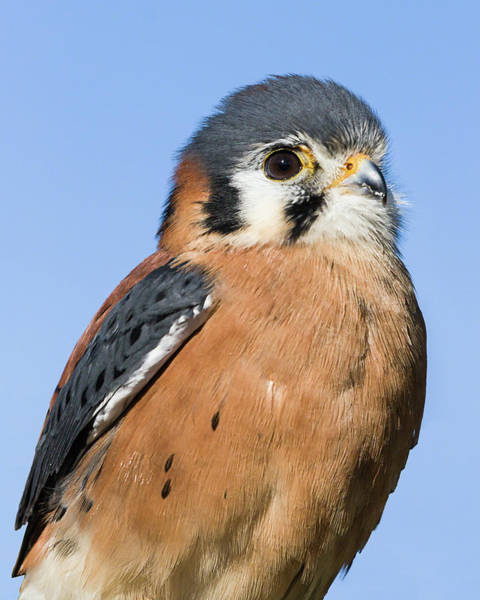 Photograph - American Kestrel I by Dawn Currie
