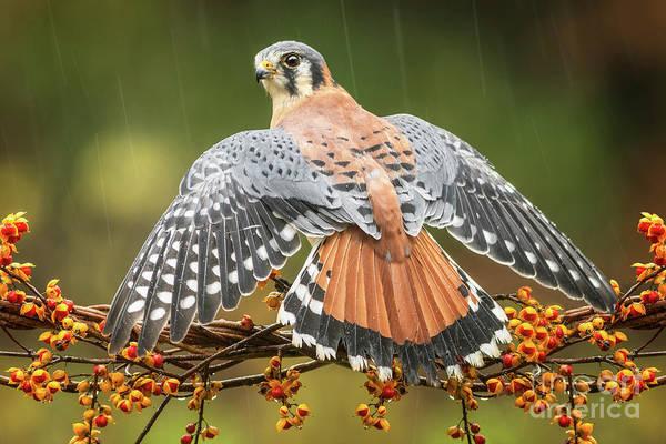 Wall Art - Photograph - American Kestrel In Rain by Todd Bielby