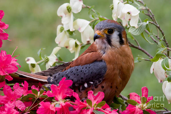 Photograph - American Kestrel In The Springtime by Jill Lang