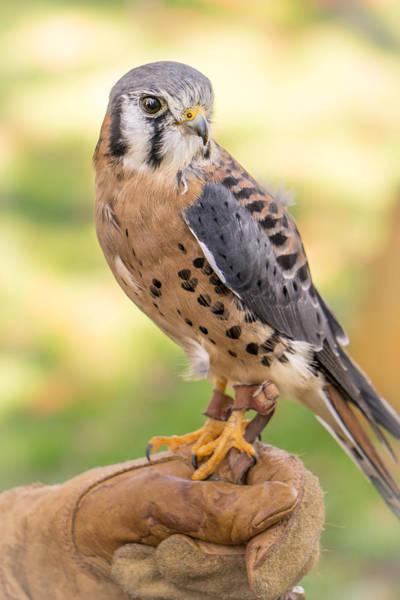 Falcons Photograph - American Kestrel by Jim Hughes