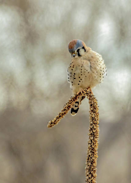 Wall Art - Photograph - American Kestrel Male On Mullein by Dawn Key