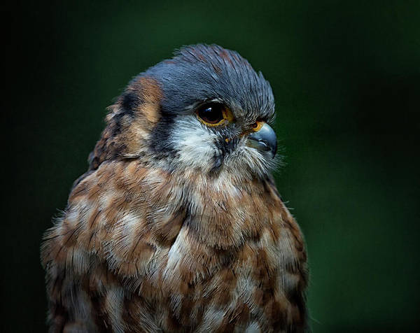 Photograph - American Kestrel by Randy Hall