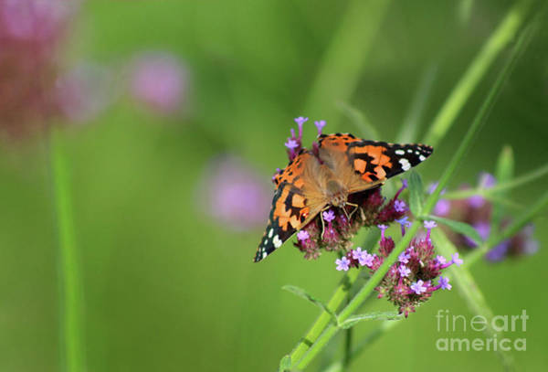 Photograph - Painted Lady Butterfly Balancing Act by Karen Adams
