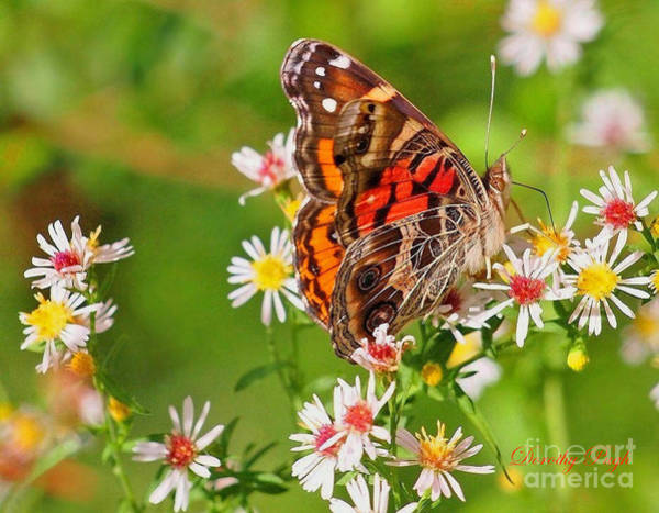 Photograph - American Lady Butterfly On White Heath Asters by Dorothy  Pugh