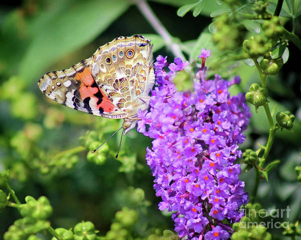 Photograph - Painted Lady Butterfly Ventral View 8x10 by Karen Adams