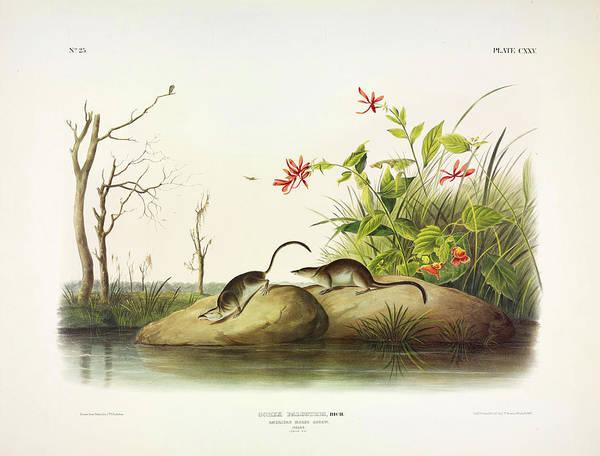 Marsh Bird Painting - American Marsh-shrew by John James Audubon