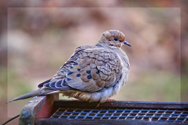 Photograph - American Mourning Dove by Robert L Jackson