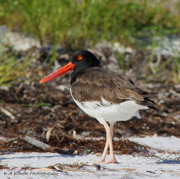 Photograph - American Oyster Catcher by Barbara Bowen