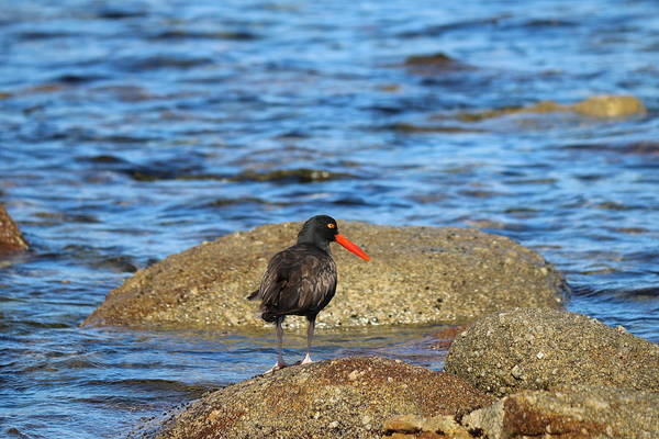 Photograph - American Oystercatcher  by Christy Pooschke