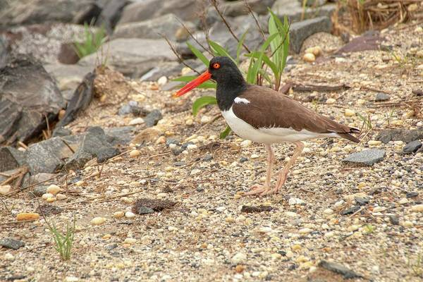 Photograph - American Oystercatcher by Kristia Adams