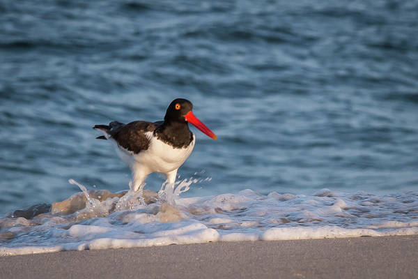Photograph - American Oystercatcher Splash Lavallette Nj by Terry DeLuco