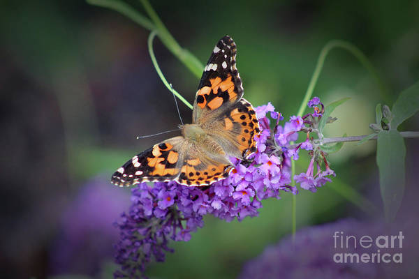 Photograph - Painted Lady Butterfly 2017 by Karen Adams