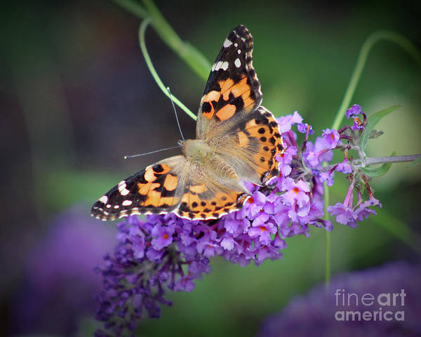 Photograph - Painted Lady Butterfly 8x10 by Karen Adams