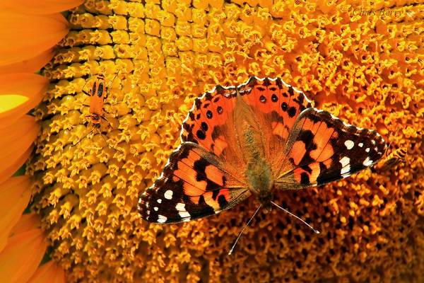 Wall Art - Photograph - American Painted Lady Butterfly by Chris Berry