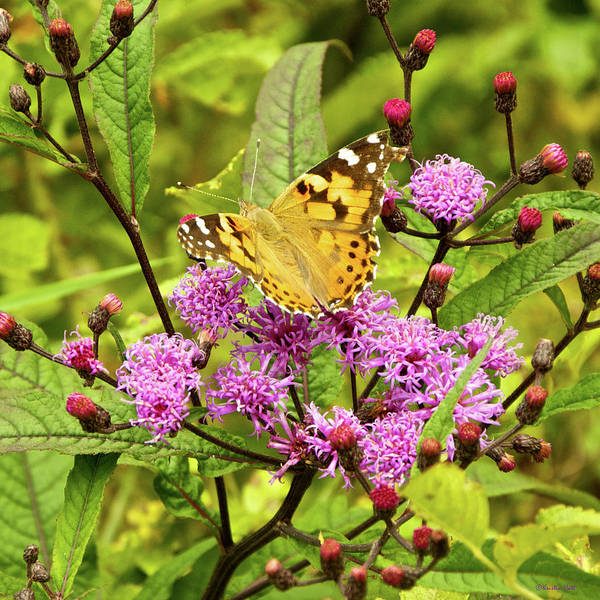 Photograph - American Painted Lady Butterfly by Kristin Hatt