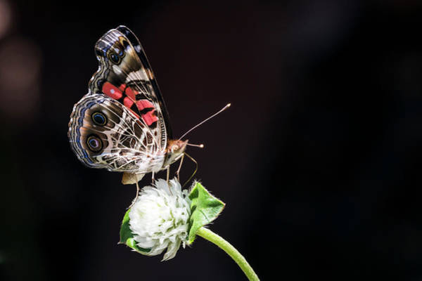 Photograph - American Painted Lady by Van Sutherland