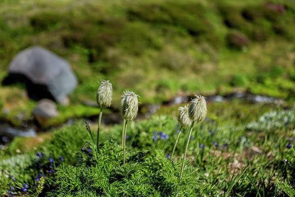 Photograph - American Pasqueflowers by Belinda Greb
