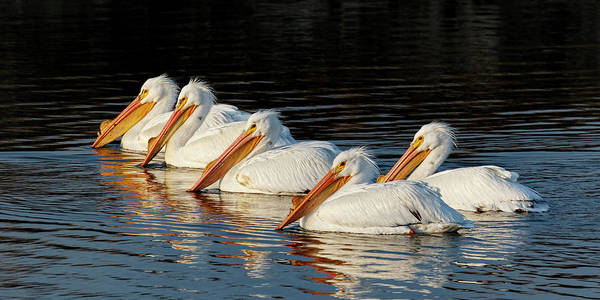Photograph - American Pelicans - 01 by Rob Graham