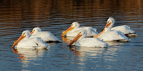 Photograph - American Pelicans - 02 by Rob Graham
