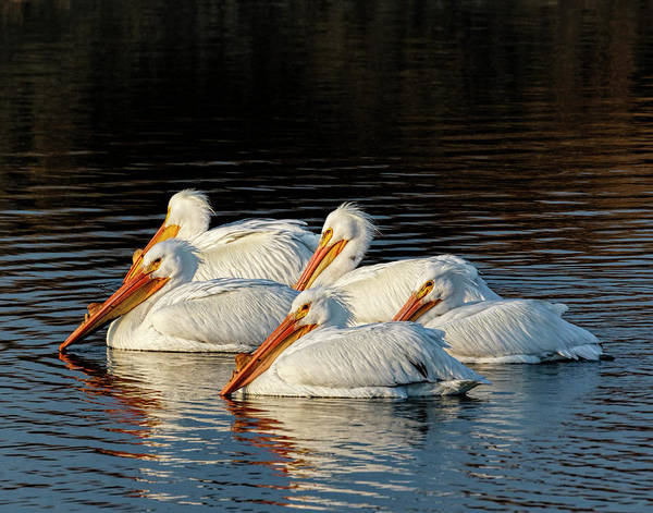 Art Print featuring the photograph American Pelicans - 03 by Rob Graham