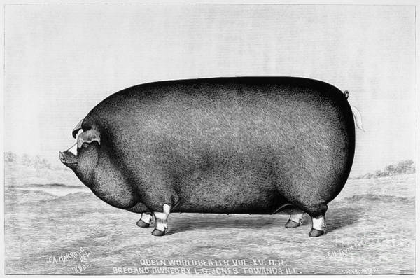 Ugly Photograph - American Pig, 1890 by Granger