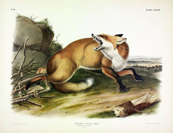 North American Birds Painting - American Red Fox by John James Audubon