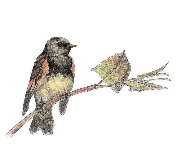 Drawing - American Redstart by Abby McBride