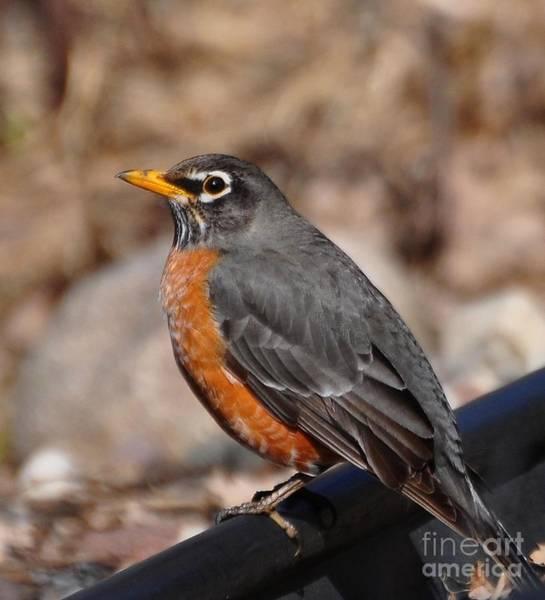 The Harbinger Photograph - American Robin by D Nigon