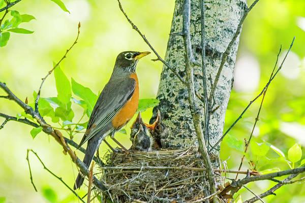 Photograph - American Robin Feeding Chicks by Gary Beeler