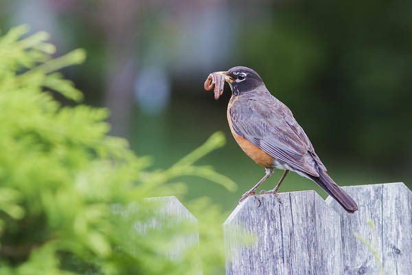 Wall Art - Photograph - American Robin by Mircea Costina Photography