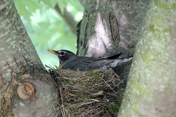 Photograph - American Robin On Her Nest 7916 by Ericamaxine Price