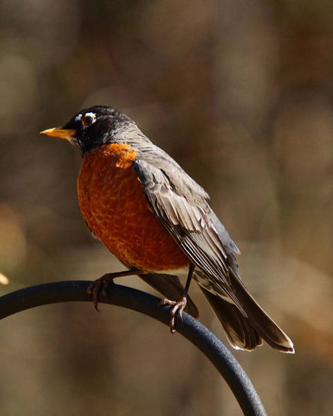 Photograph - American Robin by Robert L Jackson