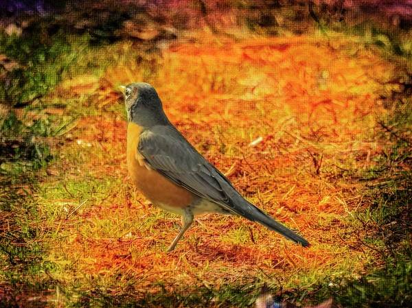 Photograph - American Robin Standing On The Ground. by Rusty R Smith