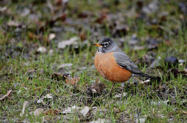 Wall Art - Photograph - American Robin by Whispering Peaks Photography