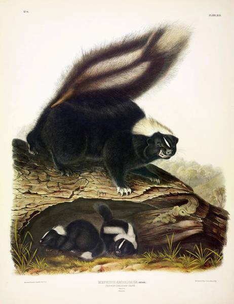 Smell Painting - American Skunk by John James Audubon