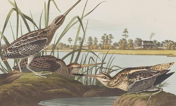 Plate Painting - American Snipe  by John James Audubon