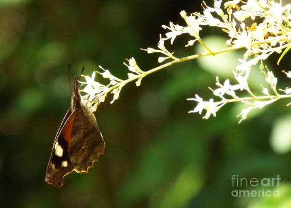 Snout Butterfly Photograph - American Snout by Audrey Van Tassell