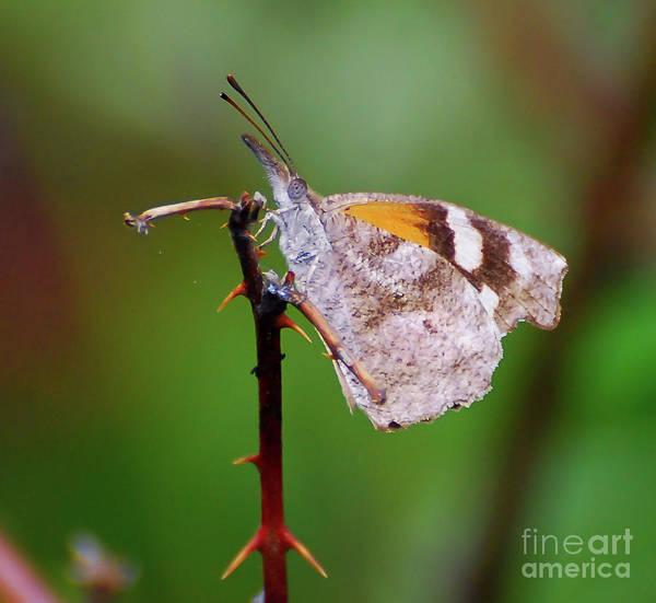 Snout Butterfly Photograph - American Snout Butterfly by Kerri Farley