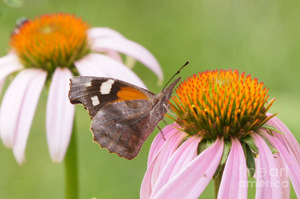 Snout Butterfly Photograph - American Snout Butterfly On Echinacea by Robert E Alter Reflections of Infinity