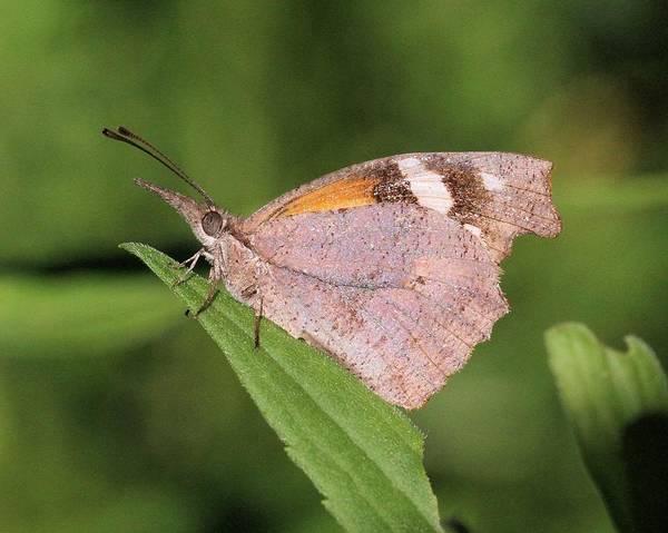 Snout Butterfly Photograph - American Snout by Doris Potter
