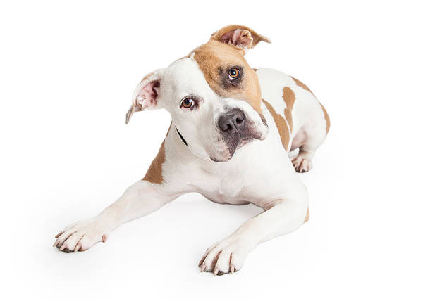 Staffordshire Wall Art - Photograph - American Staffordshire Dog Laying Tilting Head by Susan Schmitz