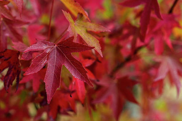 Photograph - American Sweetgum by Robert Potts