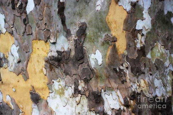 Photograph - American Sycamore Bark by Patti Whitten