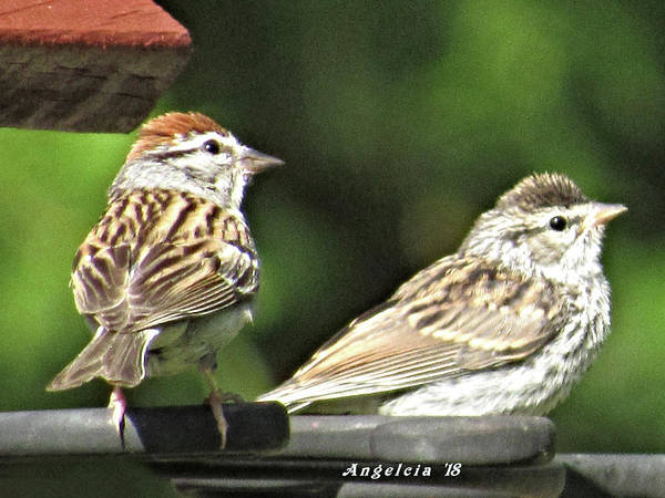 Photograph - American Tree Sparrows by Angelcia Wright