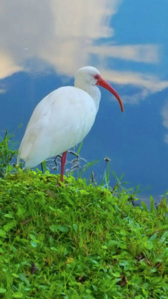 Wall Art - Photograph - American White Ibis by Art Spectrum