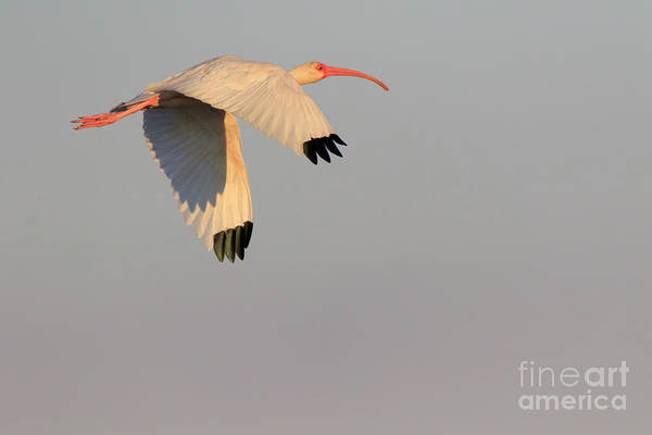 Wall Art - Photograph - American White Ibis Eudocimus Albus In Flight by Louise Heusinkveld