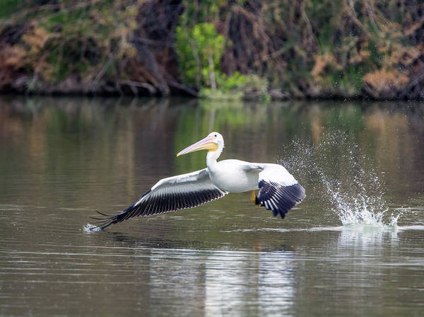 Photograph - American White Pelican 1760-031118-1cr by Tam Ryan