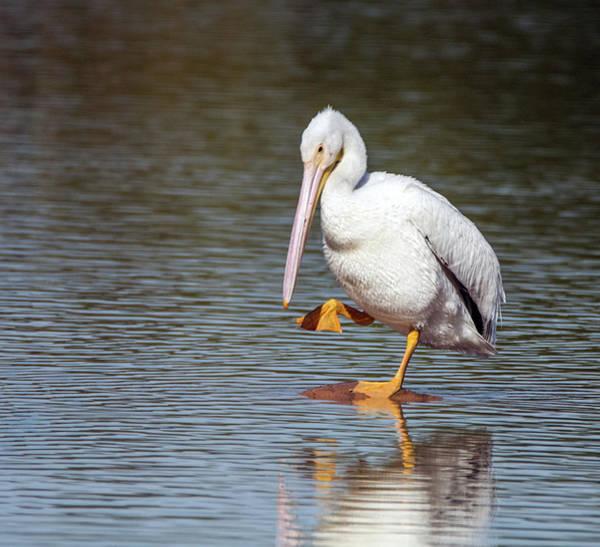 Photograph - American White Pelican 3318-032918-1cr by Tam Ryan