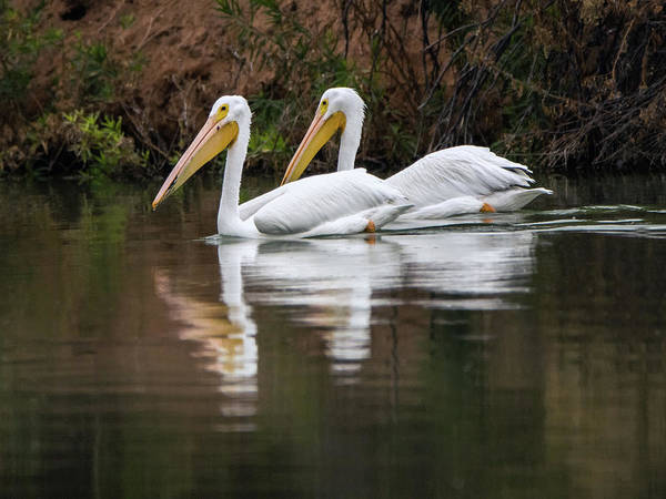 Photograph - American White Pelican 5836-113017-1cr by Tam Ryan