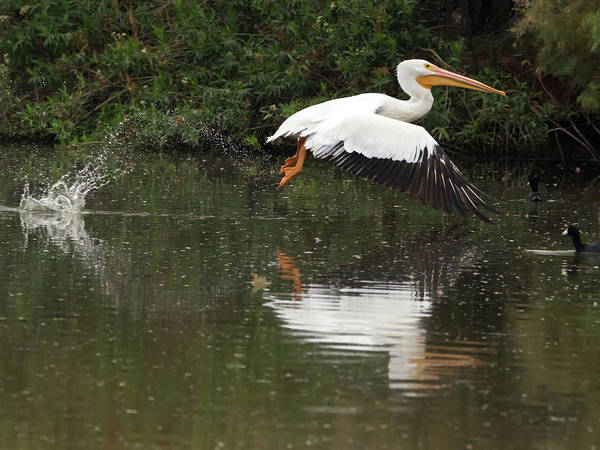 Photograph - American White Pelican 6486-113017-3cr by Tam Ryan